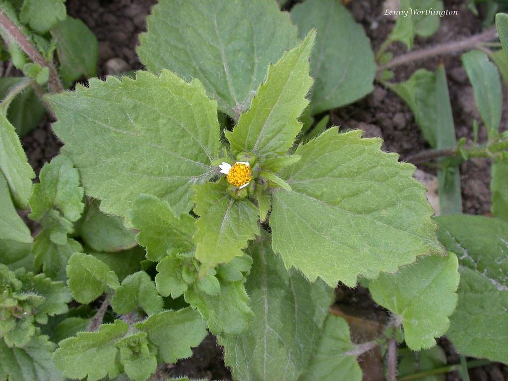 Gallant Soldier Galinsoga parviflora