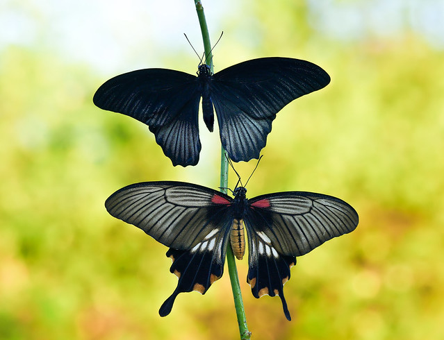 Papilio lowi (male and female)