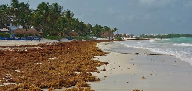 MEXICO, Punta/Playa Maroma, An der Riviera Maya, Strand  am Hotel Catalonia, und jeden Morgen tonnenweise Seegras , 19922/12885