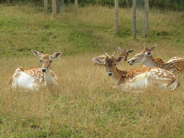 Fallow deers around the lodges of the Native Village at the Pari Daiza Resort