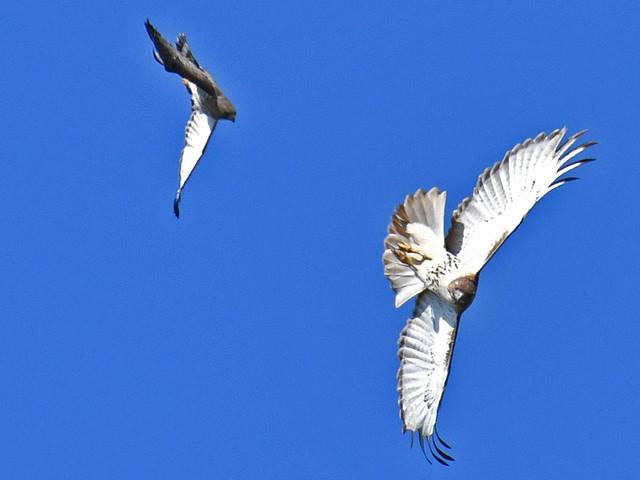 Broad-winged Hawk (Buteo platypterus)  & Red-tailed Hawk (Buteo jamaicensis) 02-05-2019