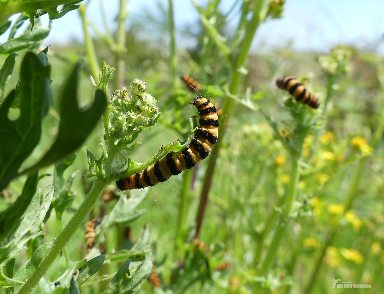 P1240287 - Cinnabar Moth caterpillars