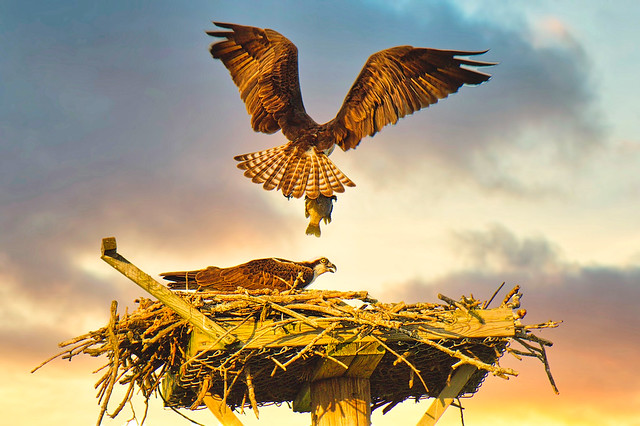 Ospreys:  Last Meal Of The Day