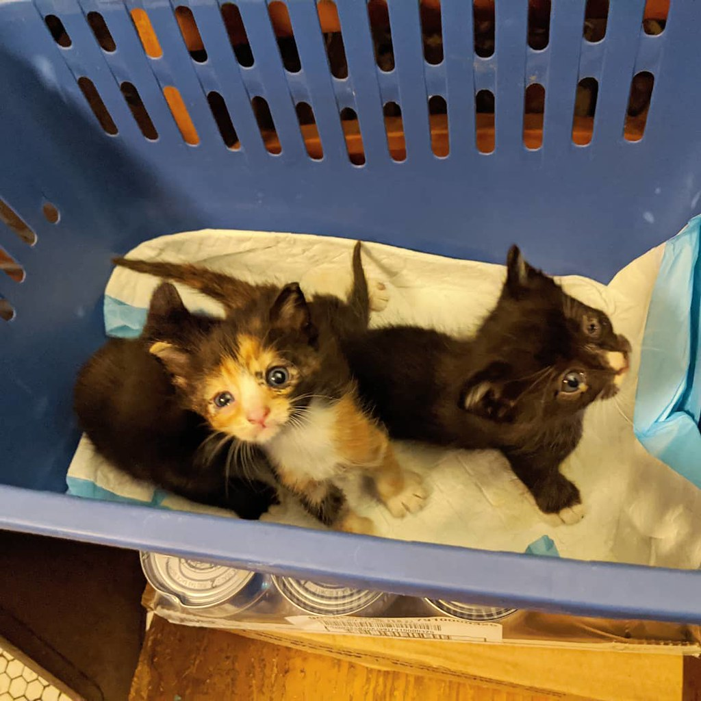 It never ends! Welcome these new babies and their more reclusive, feral momma. This clowder has some eye infections that will be treated and will spend at least a couple weeks with their mom until they're ready to go it on their own. If you have a small s