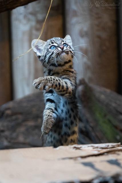 Playing geoffroy's cat cub