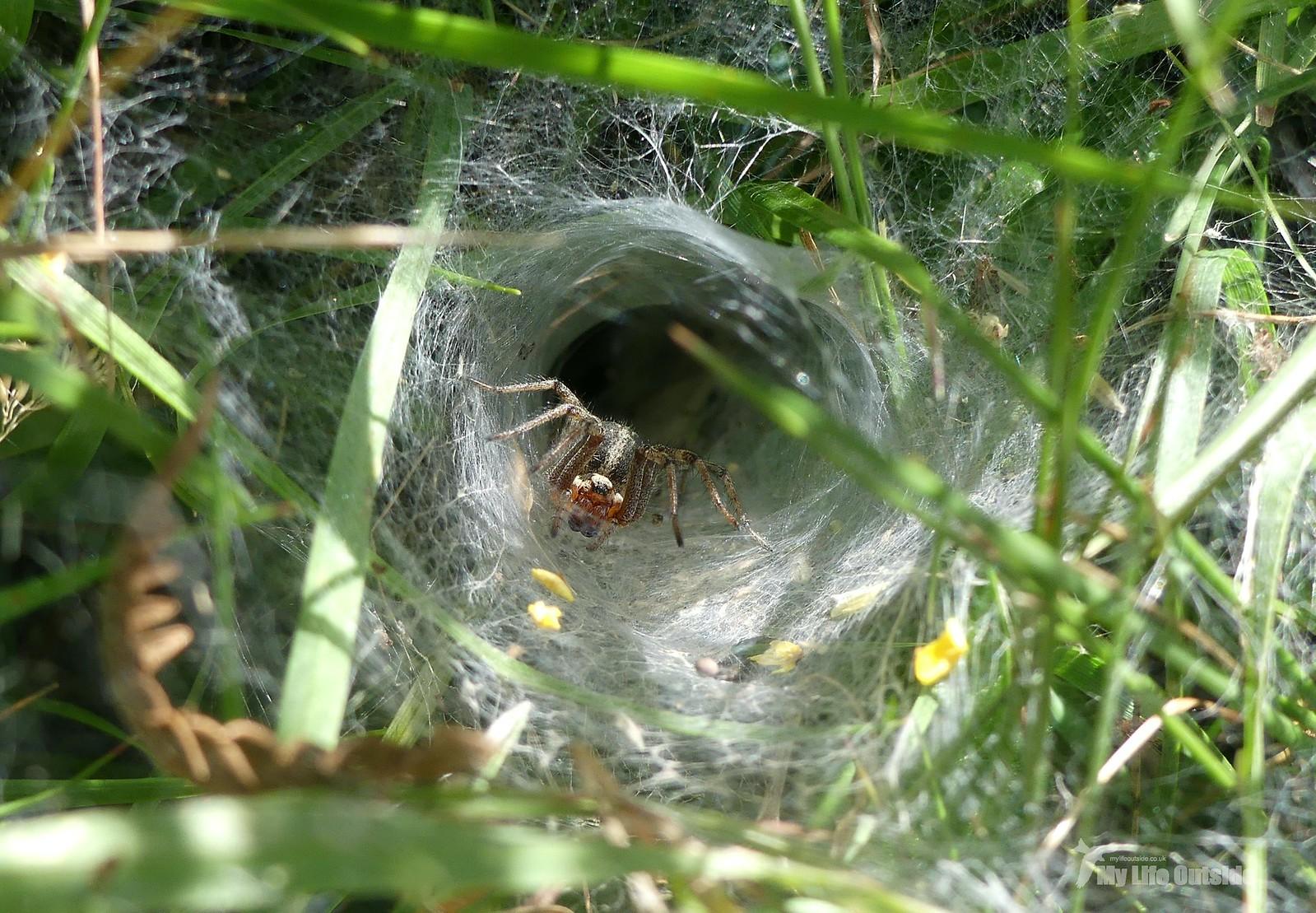 P1240268 - Labyrinth Spider