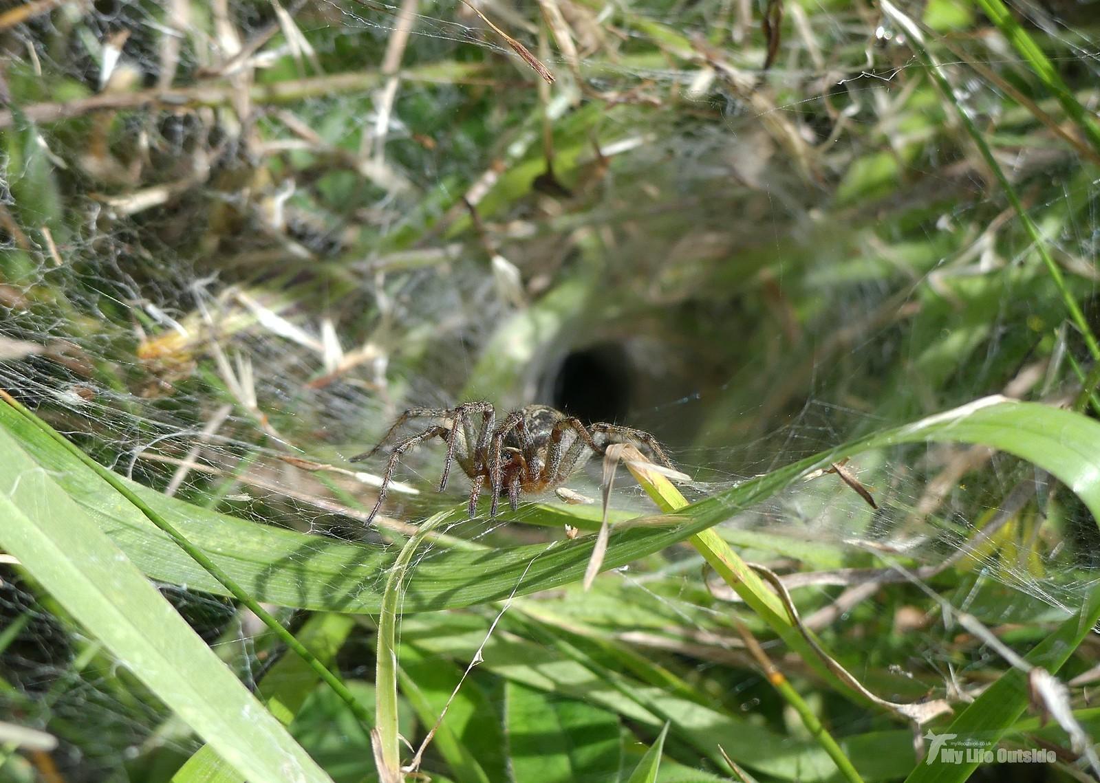 P1240262 - Labyrinth Spider