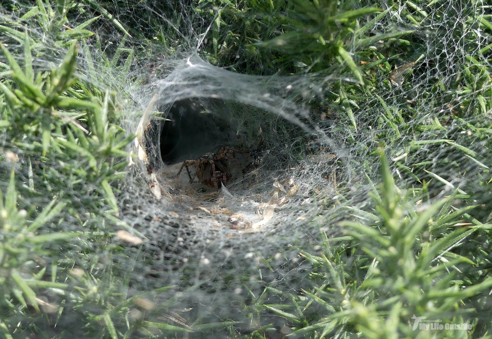 P1240249 - Labyrinth Spider