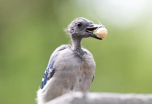 Bald Blue Jay