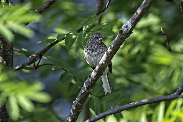 Juvenile Vesper Sparrow Pooecetes gramineus)