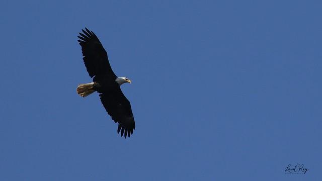 1.02767 Pygargue à tête blanche (adulte) / Haliaeetus leucocephalus washingtoniensis / Bald Eagle