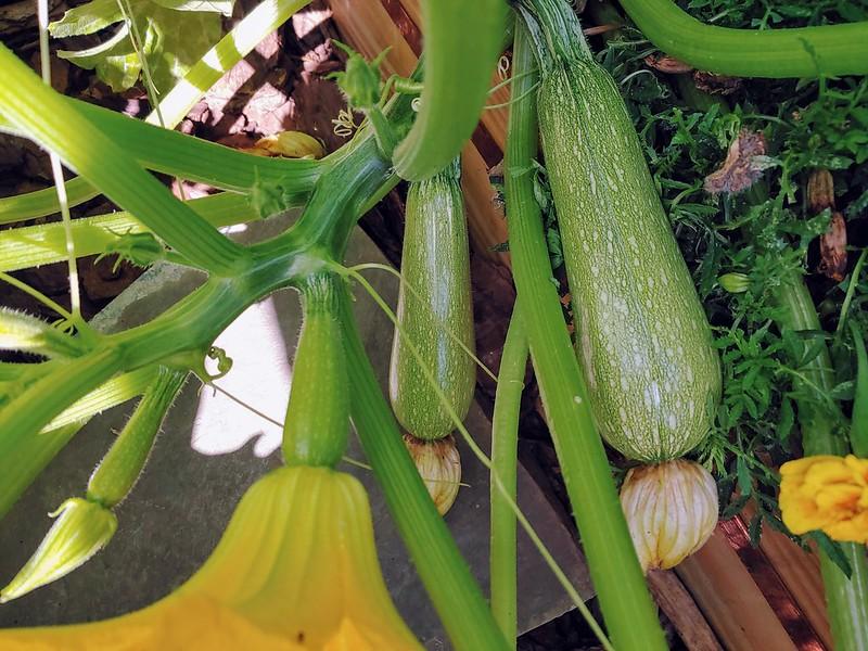 Grey Zucchini growing!