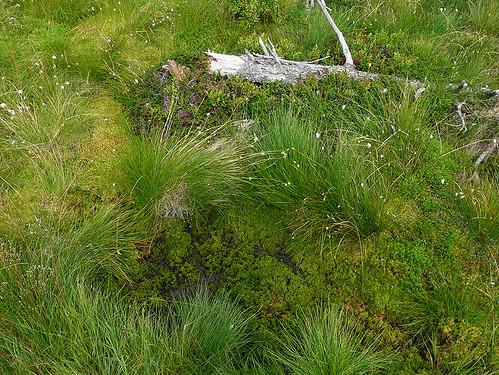 Černohorské rašeliniště: V kraji rašeliníku a suchopýru