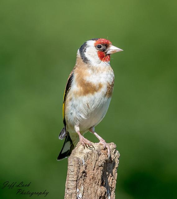 JWL7408  Goldfinch..