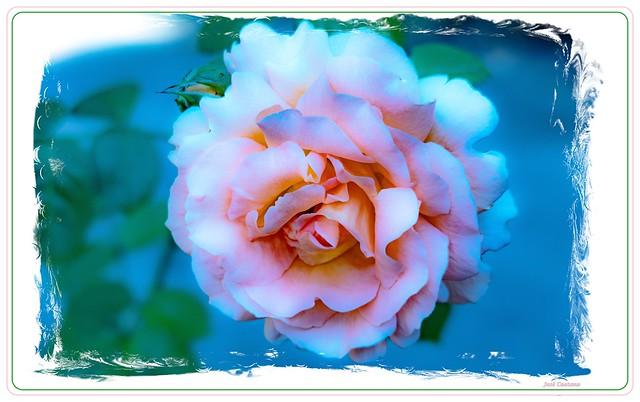 IMG_2255_Pink Rose