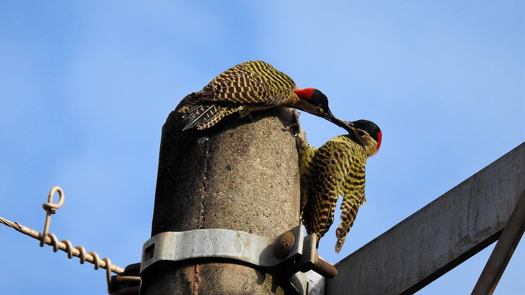 Green-barred Woodpecker  - explore