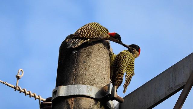 Green-barred Woodpecker  - explore