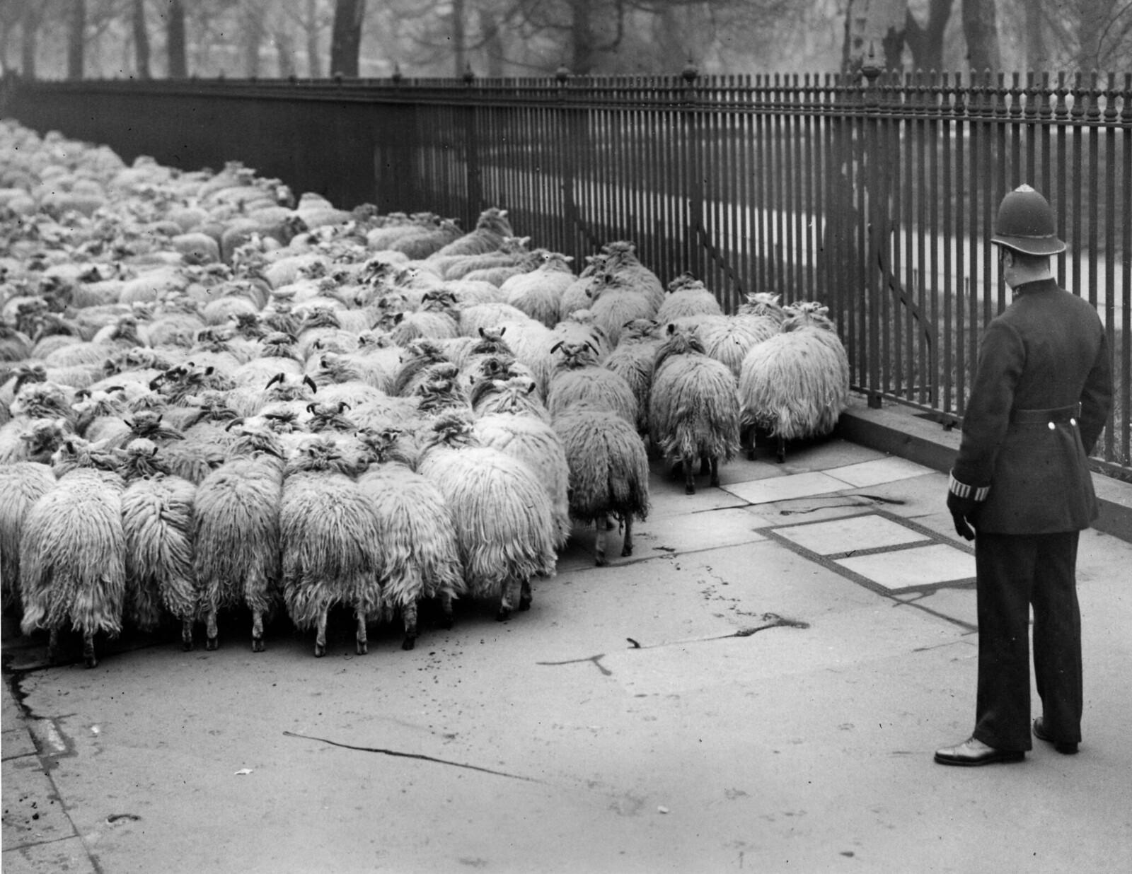 13 апреля. Полицейский наблюдает на улице за стадом овец, которых переводят из Гайд-парка в Грин-парк в Лондоне.