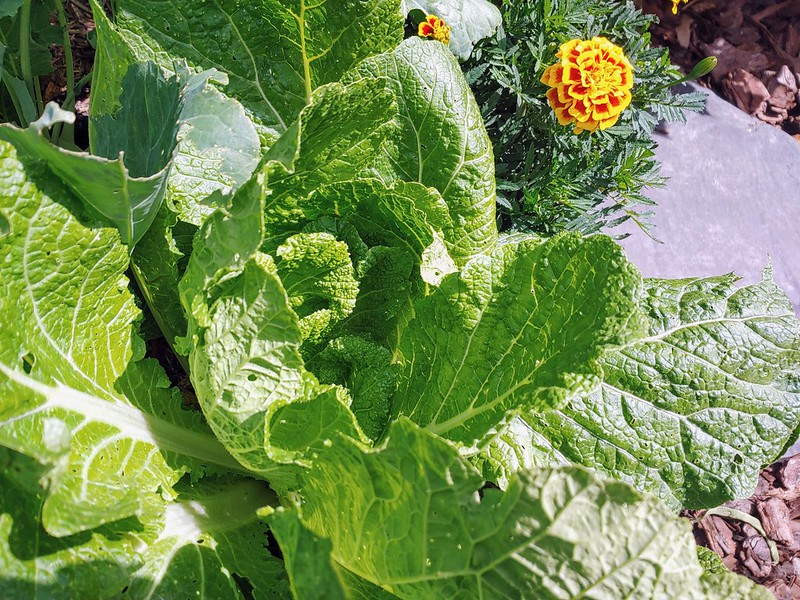 ? Chinese Cabbage ?