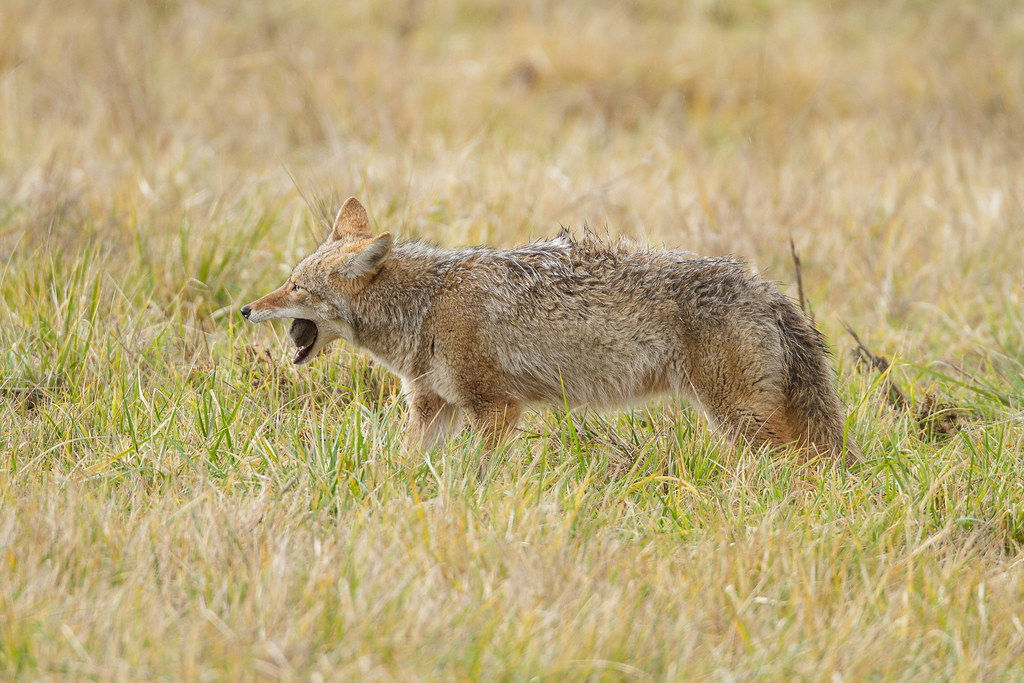 A coyote eats a Townsend's vole in a meadow on the auto tour at Ridgefield National Wildlife Refuge in Ridgefield, Washington on December 25, 2011. Original: _MG_6067.cr2