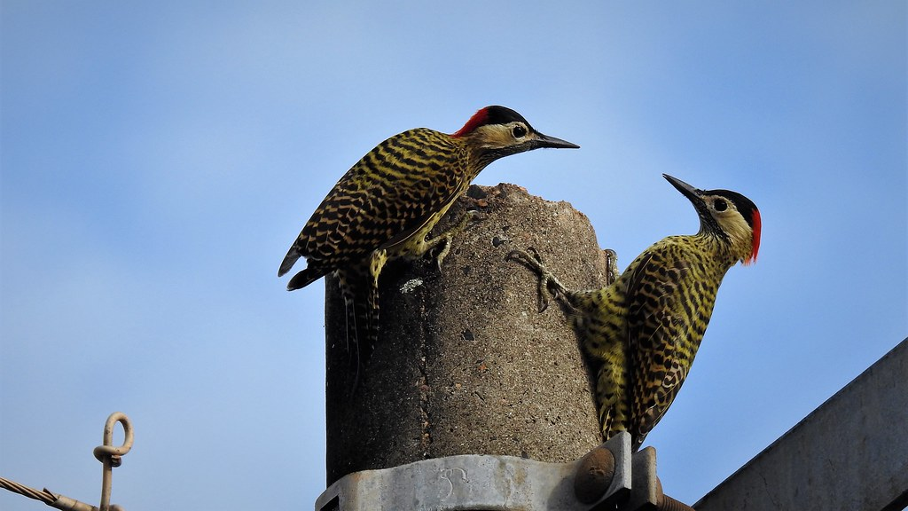 Green-barred Woodpecker  - Pica-pau-verde-barrado