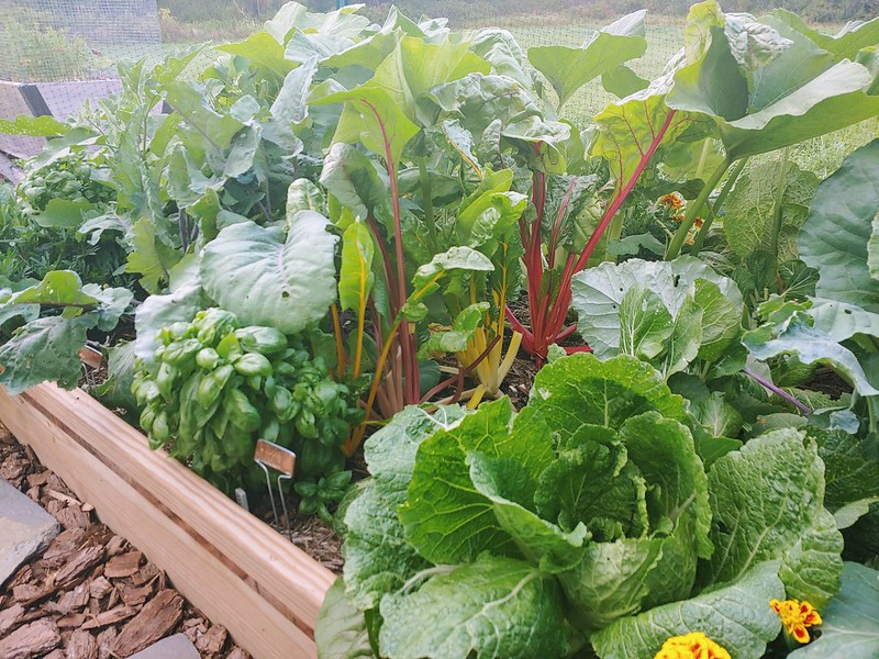 Swiss Chard, recently harvested, in the garden