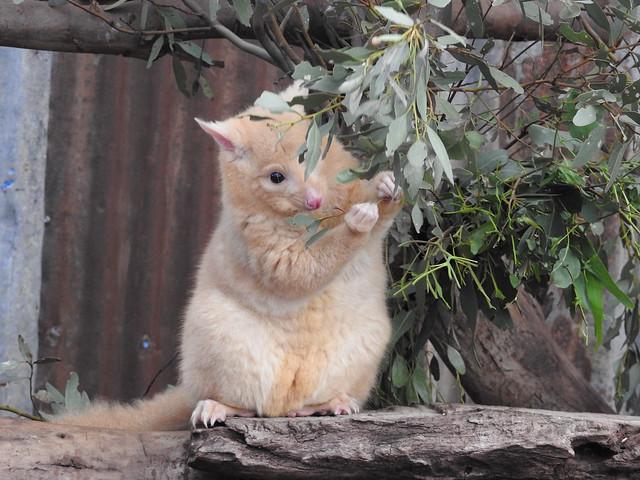 Golden Brushtail Possum (Rare) Explored