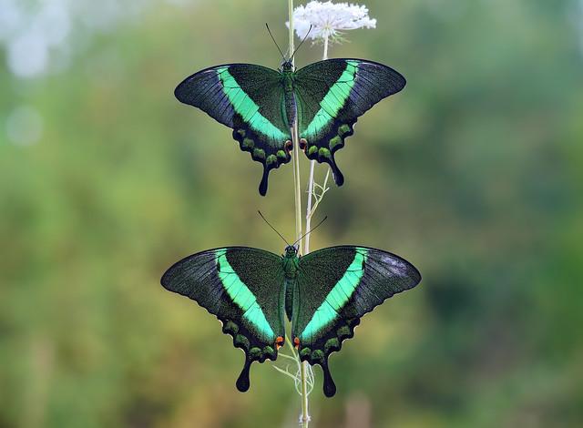 Papilio palinurus (male+female)