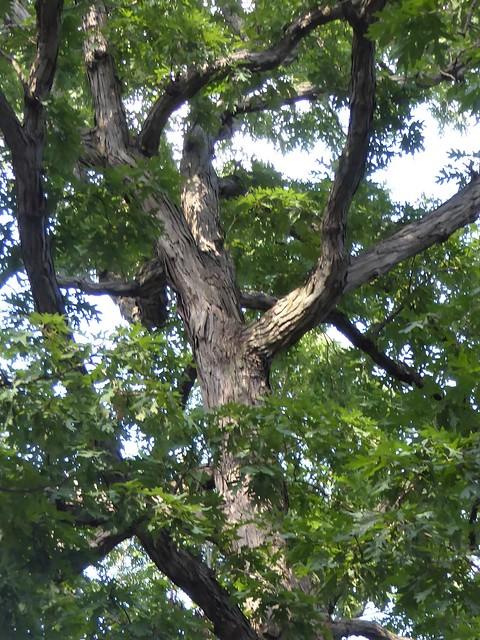 Naperville, IL, Greene Valley Forest Preserve, White Oak Trail, White Oak Tree