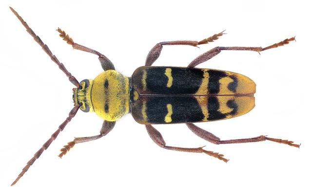 Plagionotus detritus (Linnaeus, 1758)