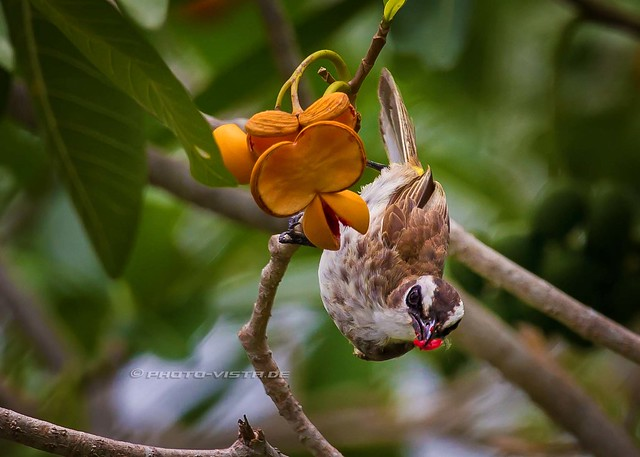 Yellow-vented Bulbul picking fruit