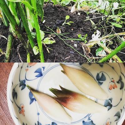 小雨の合間を縫って、今年移植した茗荷の周辺の草取り。わー茗荷生えたーやった😄