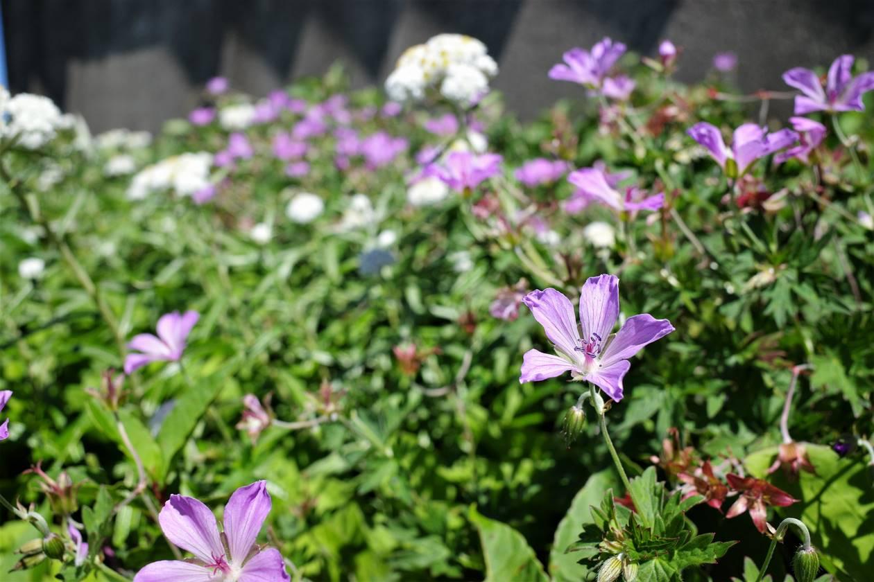鉄山避難小屋周りのお花畑