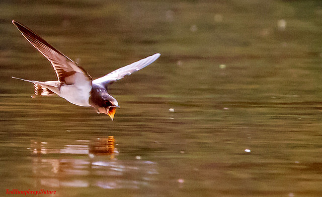 Swooping in for a drink