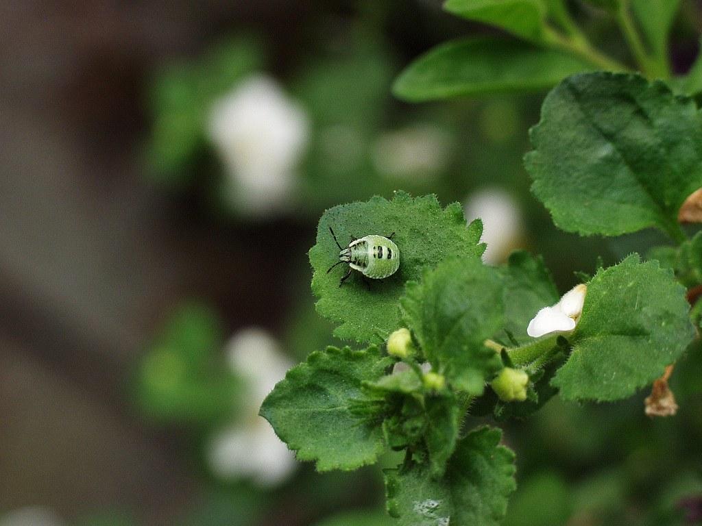 Kleine grüne Wanze