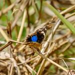 Dark Blue Pansy (Junonia oenone epiclelia), male