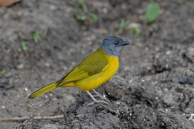 Кисточковая танагра, Eucometis penicillata pallida, Grey-headed Tanager