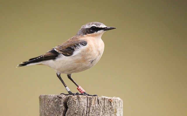 Wheatear with ankle jewellery