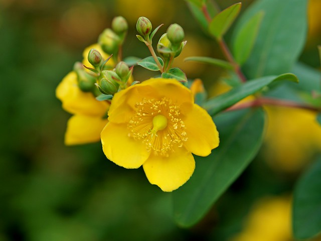 late-blooming hypericum - explored