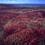 North York Moors Heather