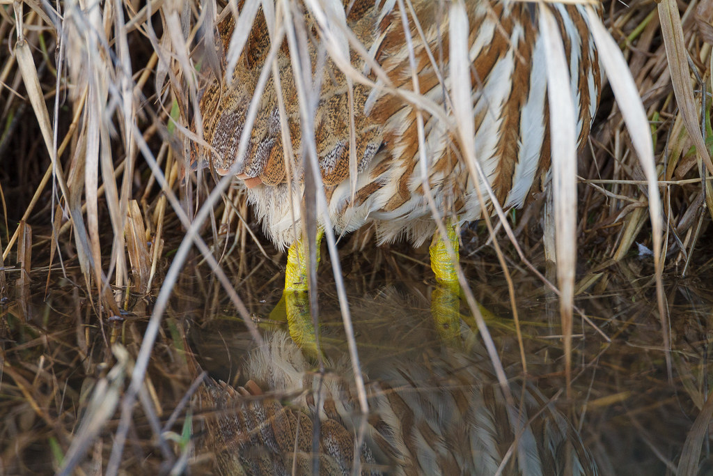 A close-up of the yellow legs of an American bittern as it hides in the shallows of Rest Lake at Ridgefield National Wildlife Refuge in Ridgefield, Washington on December 25, 2011. Original: _MG_6943.cr2