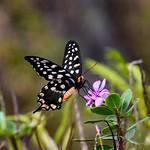 Madagascar Giant Swallowtail (Pharmacophagus antenor)