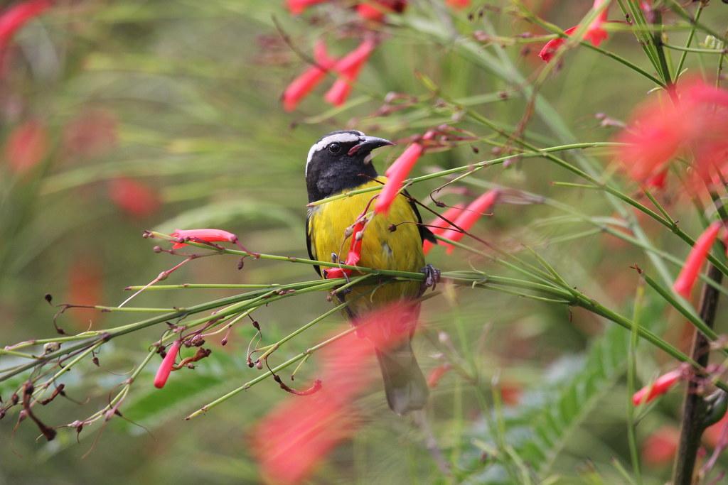 Karibik; Zuckervogel,  Bananaquit