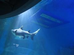 Shark,  Sea  Life Melbourne Aquarium,  Flinders  Street,  Melbourne