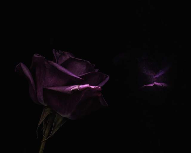 Lavender Rose with a Small Reflection on Black
