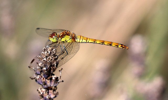 Common Darter in Christchurch Park!