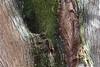 Sofra-Baumstamm, beliebt bei Baumpicker