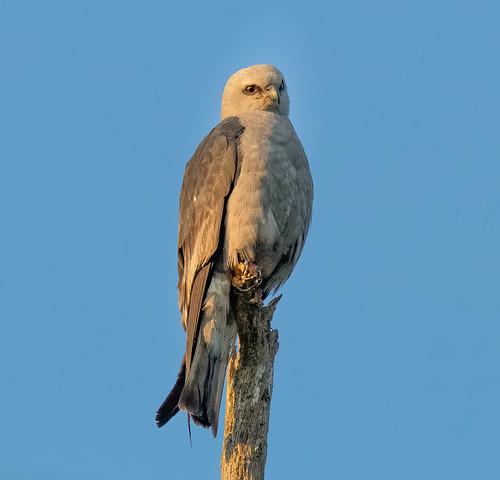 mississippikite kite birdofprey birdwatcher raptor raptors sunrise ngc canon canon80d tamron tamronsp150600mmf563divcusdg2a022