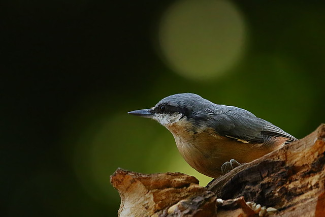 Nuthatch at Denny Wood, New Forest