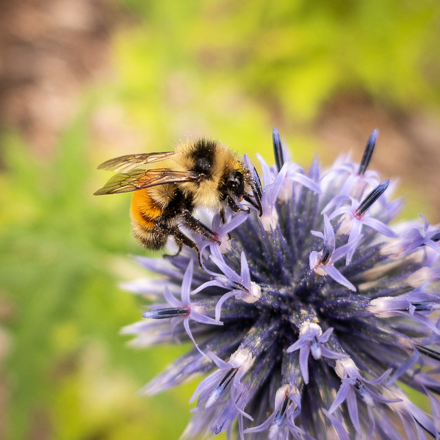 Tricolored Bumblebee on globe thistle